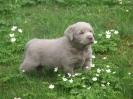Labrador Welpen_17