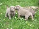 Labrador Welpen_18