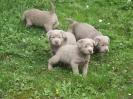Labrador Welpen_22