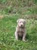 Labrador Welpen_4